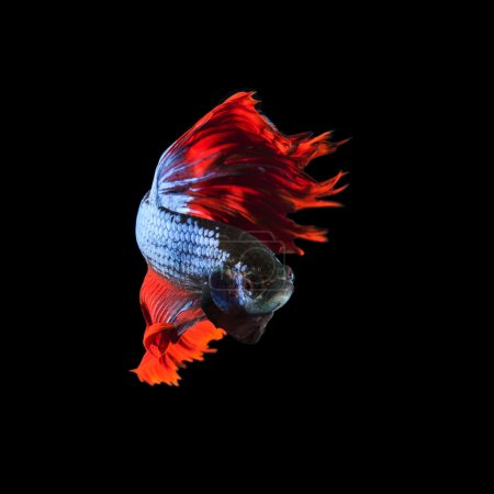 Photo for Red fin siamese fighting betta fish full body and beautiful fin tail isolated on black background - Royalty Free Image