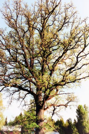 Photo pour Oak tree full of spring green leaves and colors - image libre de droit