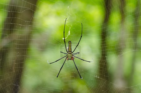 The Giant wood spider (Nephila maculata, nephila pilipes)