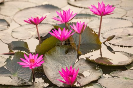 Photo for Close up pink color fresh lotus blossom or water lily flower blooming on pond background - Royalty Free Image