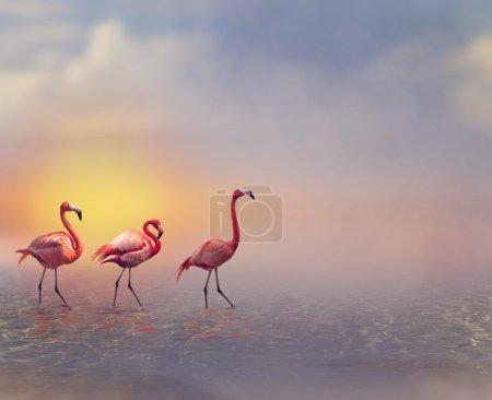 Photo pour Flamants roses marchant au coucher du soleil - image libre de droit