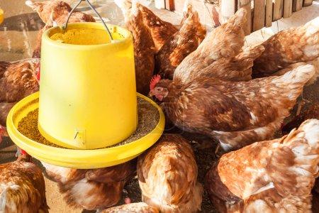 Photo pour Groupe d'alimentation poule ou poulet au poulailler à la ferme - image libre de droit