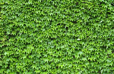 ivy leave background