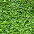 Ivy leave background...