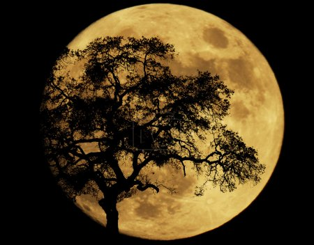 Photo for Large full moon with the silhouette of an oak tree. - Royalty Free Image