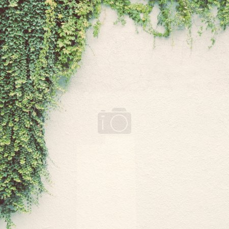 Photo for Ivy plant on white wall with retro filter effect - Royalty Free Image