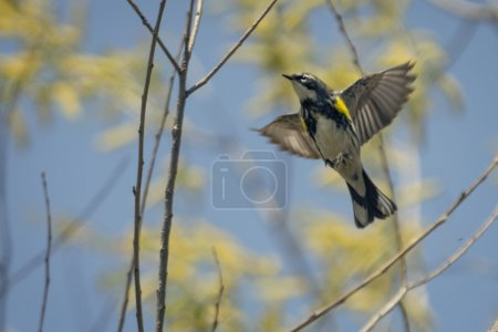 Photo for A Yellow Rumped Warbler bird seen at Magee Marsh in Northwest Ohio during spring.  Spring molt brings a transformation, leaving them a dazzling mix of bright yellow, charcoal gray and black, and bold white - Royalty Free Image