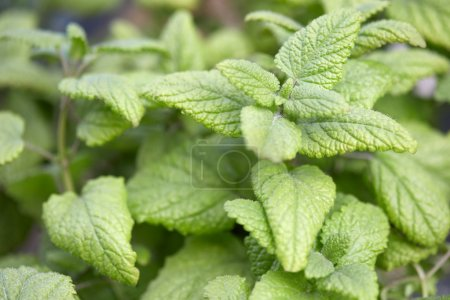 Lemon balm plant leaves, Melissa officinalis