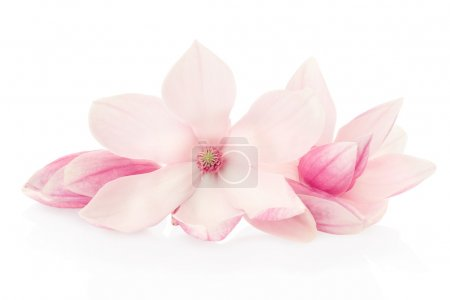 Magnolia, pink spring flowers and buds group