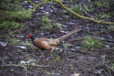 A male common pheasant (Phasianus colchicus) in wo...