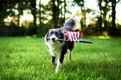 Happy dog playing outside and carrying the American flag