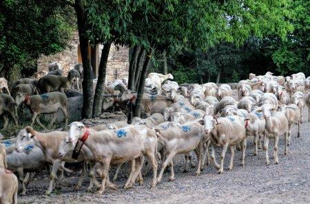 Photo pour Transhumance ovine - image libre de droit