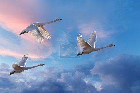 Migrating cranes spring or autumn season