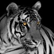 Black and white tiger...