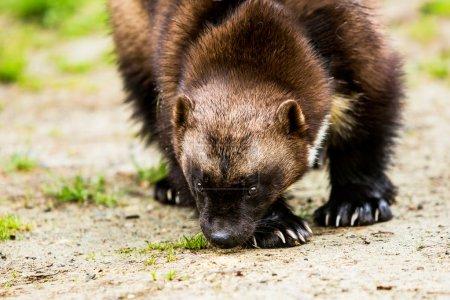 Photo pour Chasseur de Wolverine attraper des parfums sur le sol dans la clairière de la forêt - image libre de droit