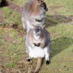 Grey kangaroo on the grass in zoo...
