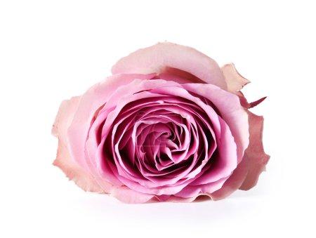 Pink tender Rose