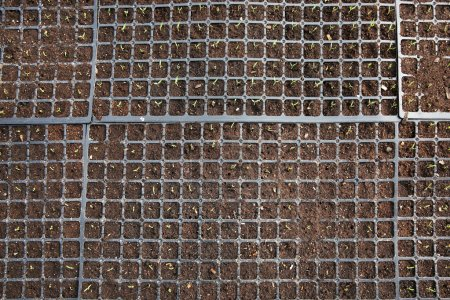 Black trays with soil for seedlings