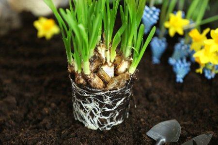 Narcissus seedling on soil