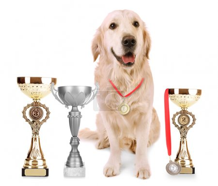 Adorable Labrador with trophy cups and medals