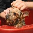 Постер, плакат: Canine hairdresser washing dog