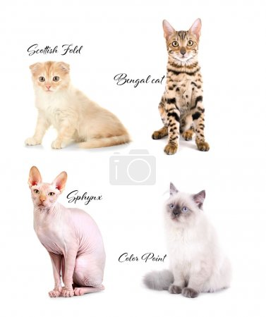 Beautiful cats with names of breeds