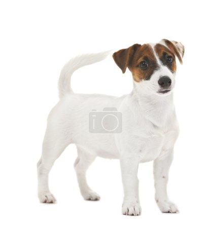 Photo pour Mignon Jack Russell terrier, isolé sur blanc - image libre de droit