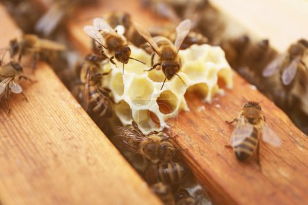 Honeycombs and bees in beehive
