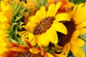Beautiful sunflowers close up