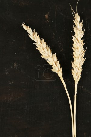 Spikelets of wheat on black