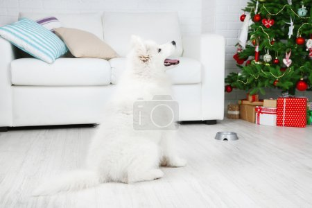 Samoyed dog in room with Christmas tree on white sofa background