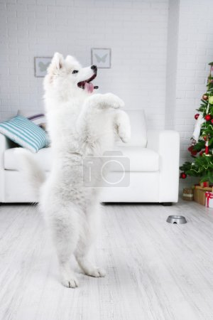 Samoyed dog execute a command in room with Christmas tree on white sofa and wall background