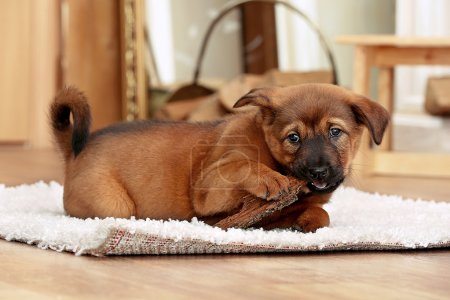 Cute puppy lying on carpet