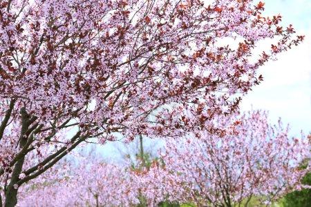 Photo pour Beaux arbres à fleurs dans le parc - image libre de droit