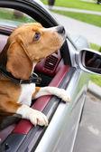 Funny roztomilý pes v autě