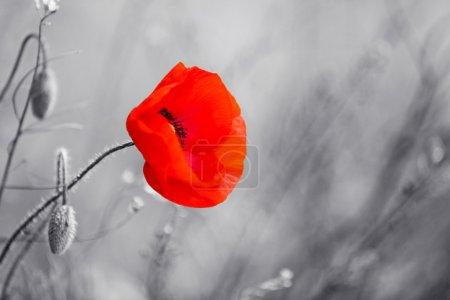 Foto de Flor de amapola roja para el Día del Recuerdo - Imagen libre de derechos