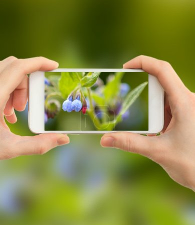 Using mobile phone to take photos of beautiful wild flowers