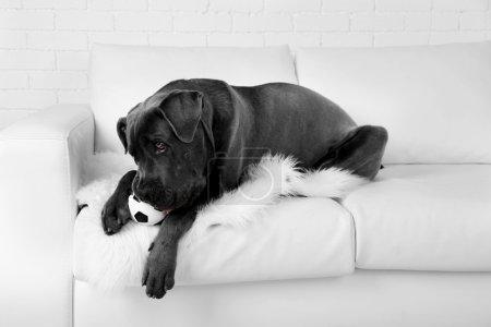 Cane corso italiano dog lying on sofa with ball at home