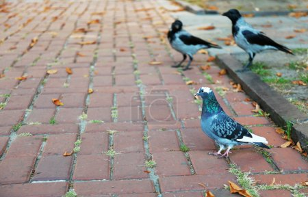Pigeon and gray crows eating bread crumbs