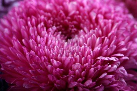 Purple blossom chrysanthemum