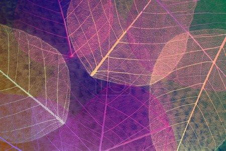 Photo pour Résumé squelette feuilles fond - image libre de droit