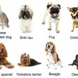 Different  small breeds of dogs together, isolated...