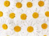 Krásné malé bílé sedmikrásky