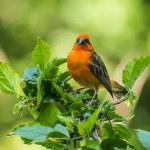 Vivid birds of Seychelles - Red Madagascar Fody (F...
