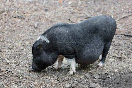Foto de Cerdo vietnamita se pastan en una granja al aire libre - Imagen libre de derechos