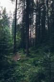 summer landscape pine forest