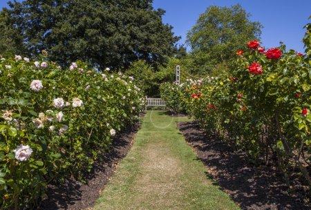 Photo pour Une très belle vue dans les jardins Reine Marys Regents Park, Londres. - image libre de droit