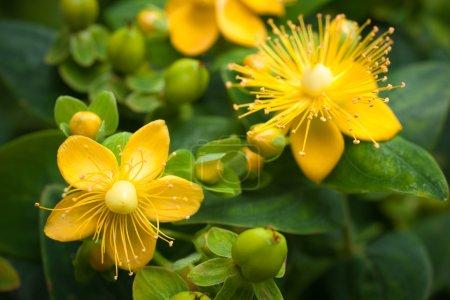 Foto de Plantas con flores la hierba de San Juan en el fondo de hojas verdes - Imagen libre de derechos