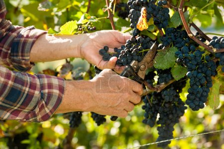 Vintner picking grapes with shear at harvest time ...