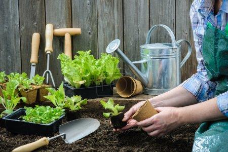 Photo pour Agriculteur la plantation de jeunes plants de salade de laitue dans le jardin potager - image libre de droit